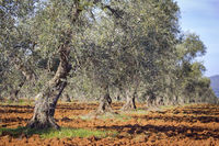 Olive tree plantation in the Extremadura