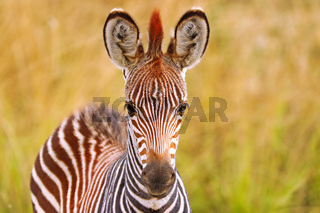Zebra, Steppenzebra, South Luangwa Nationalpark, Sambia, (Equus quagga) | Plains Zebra, South Luangwa National Park, Zambia, (Equus quagga)