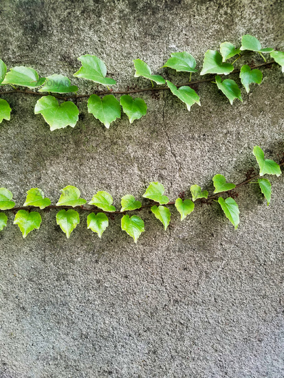 Two Branches of Boston Ivy