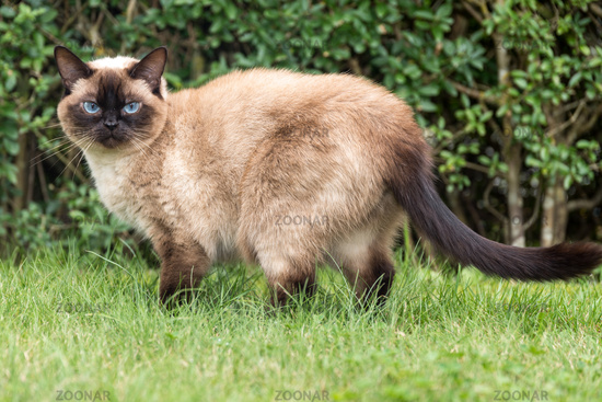 beautiful ragdoll cat with blue eyes attentively stands in the green grass