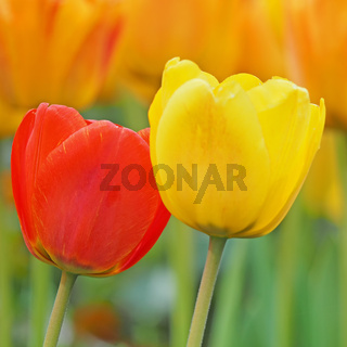Eine rote und eine gelbe Tulpe vor einem Hintergrund aus unscharfen Blüten