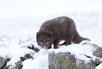 Arctic fox, Norway