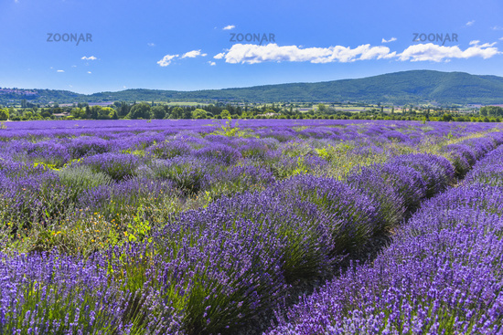 large lavender field with mountain range of the Vaucluse department near Sault