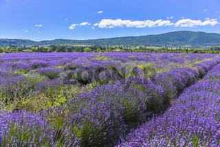 Großes Lavendelfeld mit Bergkette im Département Vaucluse bei Sault