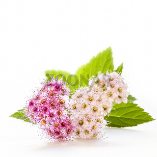 Delicatie flowers of the spiraea japonica or  Japanese spiraea on a white background