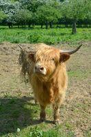 Highland Cattle in Rhineland,Germany