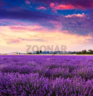Lavender field summer near Sault.
