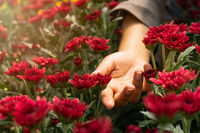 Female hand outstretched between natural red romantic blooming flowers - love concept