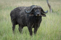 Cape buffalo stands eyeing camera in grass