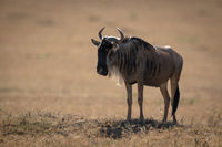 Blue wildebeest stands on savannah in sunshine