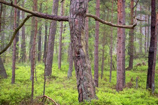 Darss Forest 002. Fischland Darss Zingst. Germany