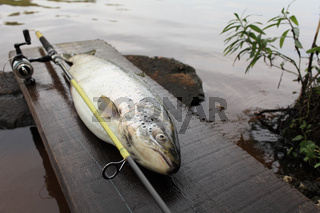 trophy big trout fish
