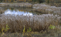 Reed belt in autumn