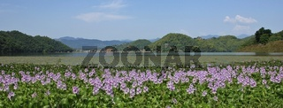 Pink water hyacinths growing on the shore of Begnas lake, Nepal. Beautiful landscape near Pokhara.