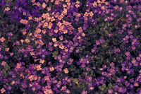 Aubrieta deltoidea or Aubretia flowers pink and purple background closeup. Top view. Soft focus nature texture. Spring floral greeting card template. Delicate delightful romantic artistic toned image