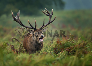 Red deer roaring during rut