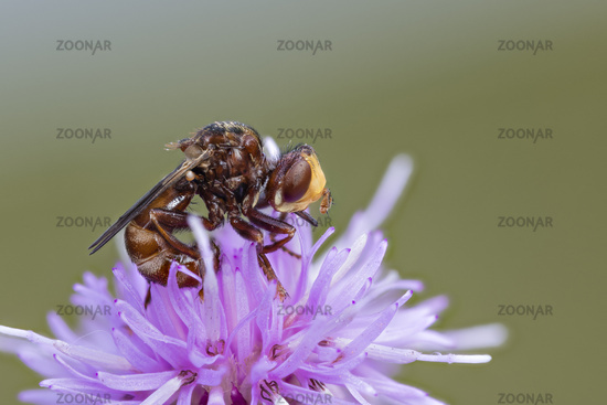 Thick-headed Fly, Sicus ferrugineus