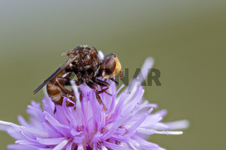 Gemeine Breitstirnblasenkopffliege, Sicus ferrugineus Thick-headed Fly - Detailed Macro Stack