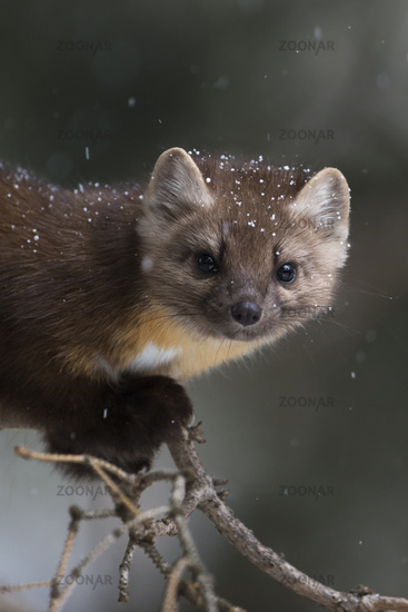 Pine Marten * Martes americana * watching attentively