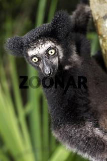 Indri indri, Ankanin Ny Nofy, Madagaskar