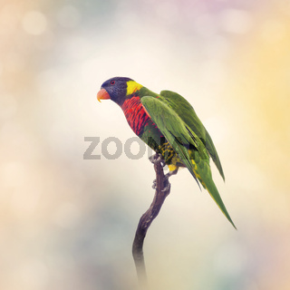 Rainbow Lorikeet  on a branch