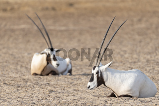 Arabian Oryxes in the desert