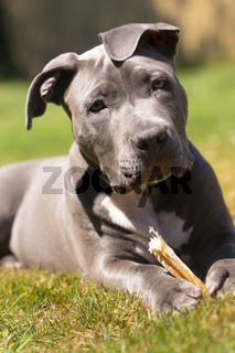 Adorable Pit Bull Pup Pauses While Chewing Bone