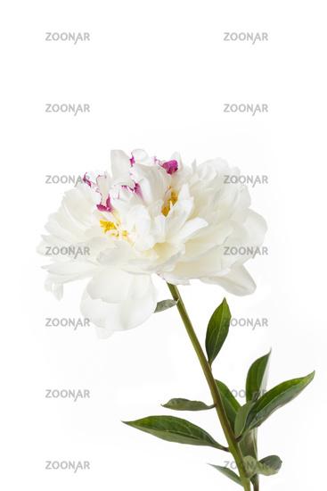 White peony (peony) on a white background