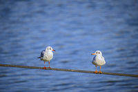 two seagulls on a steel rope
