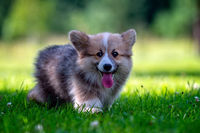 Red dog welsh corgi pembroke  puppy running in the green grass.