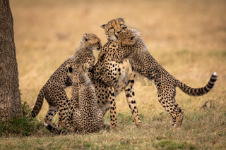 Three cheetah cubs surrounding mother on grass