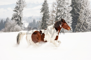 Brown and white horse, Slovak Warmblood breed, running on snow, blurred trees and mountains in background