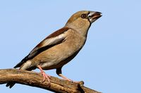 hawfinch female