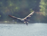 Osprey in Flight Carrying A Fish In It's Talons