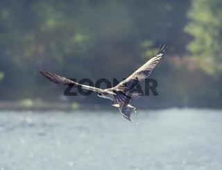 Osprey in Flight Carrying A Fish In It's Talons