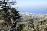 Cyprus cedar (Cedrus libani var. Brevifolia) at ruin Kantara
