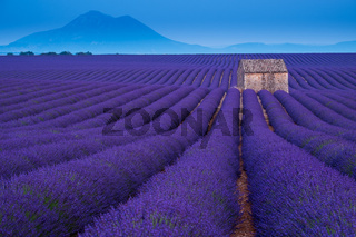Stone hut on lavender field in Provence