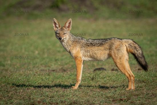 Black-baked jackal stands on grass facing camera
