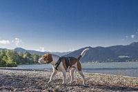 beagle at lake Tegernsee
