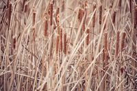 orange reeds blowing in the wind.
