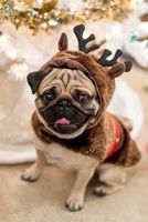 Pug sitting under a Christmas tree with a reindeer costume on