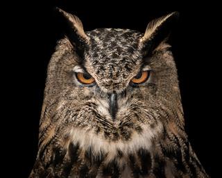 Eurasian Eagle Owl V