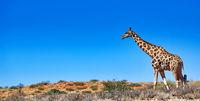 Giraffe at the dunes, Kgalagadi Transfrontier National Park, South Africa, (Giraffa)