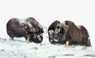 Male musk oxen in the mountains in winter