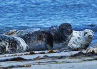 Grey seal on the beach of Heligoland - island Dune