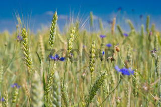 Barley field with cornflowers