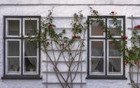 The roses in front of the windows