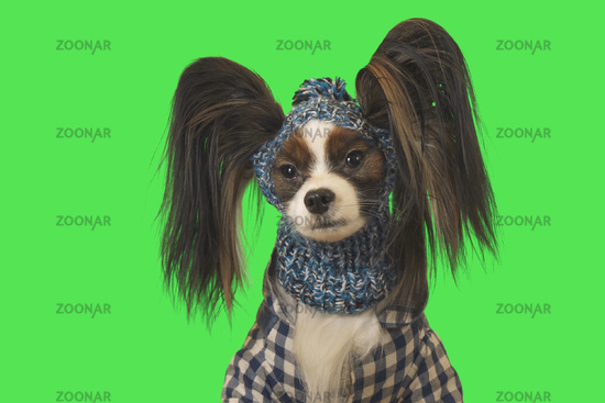 Beautiful dog Papillon in clothes and hat on green background