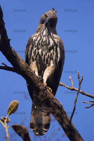 Changeable hawk-eagle, Nisaetus cirrhatus, Corbett Tiger Reserve, Uttarakhand, India