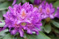1 BA Rhododendrronbluete 182.jpg